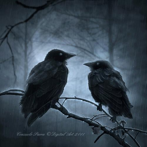 crow, rain, forest