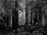 forest, dark forest, black and white, lonley, alone, sad beauty, dark beauty